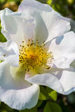 Detail of a white dog rose (Rosa canina) Stock Photography