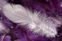 Detail of white feather on violet feathers Stock Photography