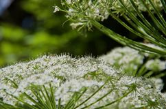 Detail of white flowers of cow parsnip showing tiny insects and cobwebs. In the bright sun of a clearing in a forest on Vancouver Island, BC royalty free stock images