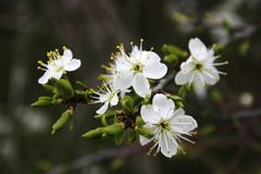Detail, White Flowers, Spring Royalty Free Stock Image