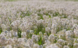 Detail White Flowers (Thlaspi) in Meadow Royalty Free Stock Image
