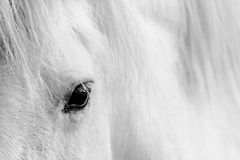 Detail of a white horse Royalty Free Stock Photography