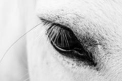 Detail of a white horse Stock Photos