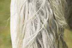 Detail of white horse mane. Close up of white horse mane with gray hair Royalty Free Stock Photography