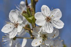 White peach blossoms #2. Detail of white peach blossoms that bloom in spring stock images