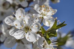 White peach blossoms. Detail of white peach blossoms that bloom in spring stock image