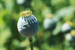 Detail of white Poppyhead Stock Photo