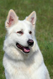 Detail of White Swiss Shepherd Dog Stock Image