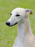 Detail of White Whippet Stock Photography