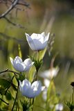 Detail of wild anemone flowers Stock Photography