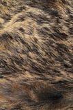 Detail on wild boar pelt Stock Image