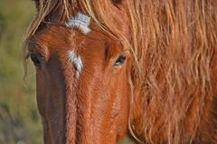 Detail wild brown horse face royalty free stock images