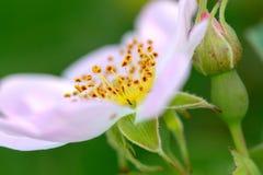 Detail of wild bush flower, pistil and stamens, macro. Picture of a Detail of wild bush flower, pistil and stamens, macro stock images