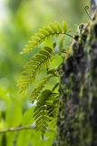 Detail of a wild fern Royalty Free Stock Photography
