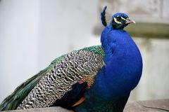 Detail of  a wild peacock outdoors. And architecture Royalty Free Stock Photos