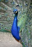 Detail of  a wild peacock outdoors Stock Photo