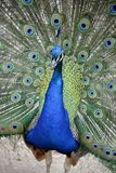 Detail of  a wild peacock outdoors Royalty Free Stock Photo