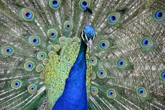 Detail of  a wild peacock outdoors Royalty Free Stock Image