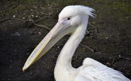 Detail from wild pelican Royalty Free Stock Images