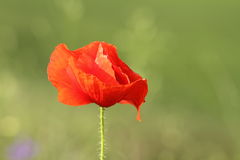 Detail on wild red poppy Stock Photography