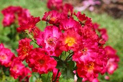 Detail of wild red roses Stock Photo