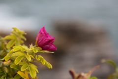 Detail of Wild Rose on the Cliffs Stock Photography