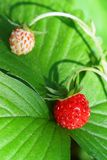Detail of wild strawberry Stock Images