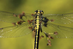 Detail wings dragonfly. Sitting and resting on plant Royalty Free Stock Photos