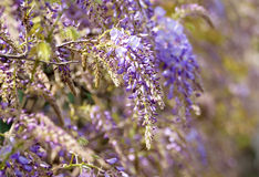 A detail of Wisteria fence, Royalty Free Stock Images