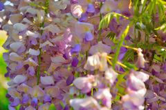 Detail of a Wisteria plant. Is a genus of flowering plants in the pea family, Fabaceae, that includes ten species of woody climbing bines native to the Eastern Royalty Free Stock Photography