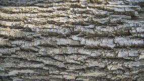 Detail of wooden tree bark texture Royalty Free Stock Image