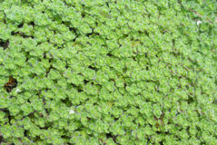 Detail, wooly thyme groundcover. Seattle, Pacific Northwest Stock Photography