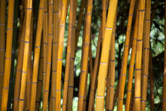 Detail of Yellow Bamboo Canes. Royalty Free Stock Images