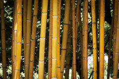Detail of Yellow Bamboo Canes. Royalty Free Stock Photo