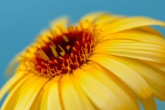 Detail of yellow calendula, flower. Detail of yellow calendula with blue background Stock Photos