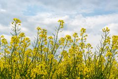 Detail of yellow canola Royalty Free Stock Images