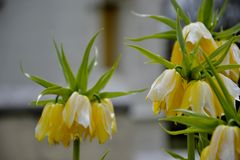 Detail of yellow  crown imperial lily Royalty Free Stock Photo