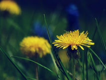 Detail of yellow dandelion. Nature theme stock photography