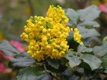 Detail yellow flowering shrubs mahonia - Mahonia aquifolium Stock Photo