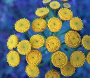 Detail of yellow flowers Stock Photography