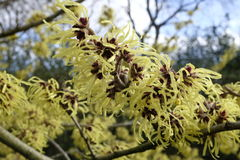 Detail of yellow flowers of the Hamamelis Mollis stock photo