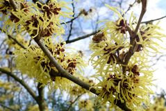Detail of yellow flowers of the Hamamelis Mollis Stock Images