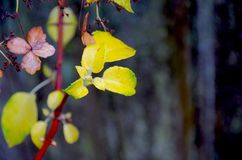 Detail of yellow leaves of climbing hydrangea contrasts with the gray fence. Detail of autumn colored yellow leaves of climbing hydrangea contrasts with the gray Stock Photo