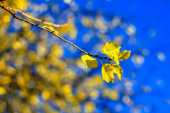 Detail of yellow leaves on the sun with blue sky. Detail of yellow leaves on the sun with clear blue sky-Prague,Czech Republic Royalty Free Stock Photography