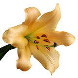Detail yellow lily Royalty Free Stock Photo