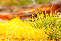 Detail yellow moss and green grass Stock Images