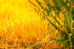 Detail yellow moss and green grass Royalty Free Stock Images