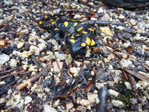 Detail of a yellow spotted salamander Stock Images