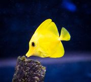 Yellow Tang Zebrasoma flavescens in Captive Aquarium. Detail of a yellow tang, Zebrasoma flavescens, saltwater fish housed in a reef aquarium system stock photography