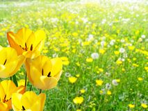 Detail of yellow tulips Royalty Free Stock Photo